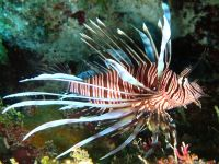 Lionfish specimen in Jamaican waters.