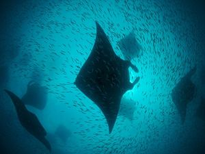 Manta Rays at Hanifaru Bay